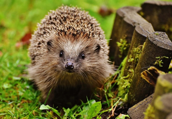 hedgehog-child-1759027_1920.jpg